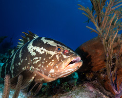 Grouper cleaning station 2