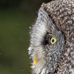 Great Gray Owl with Snowflake