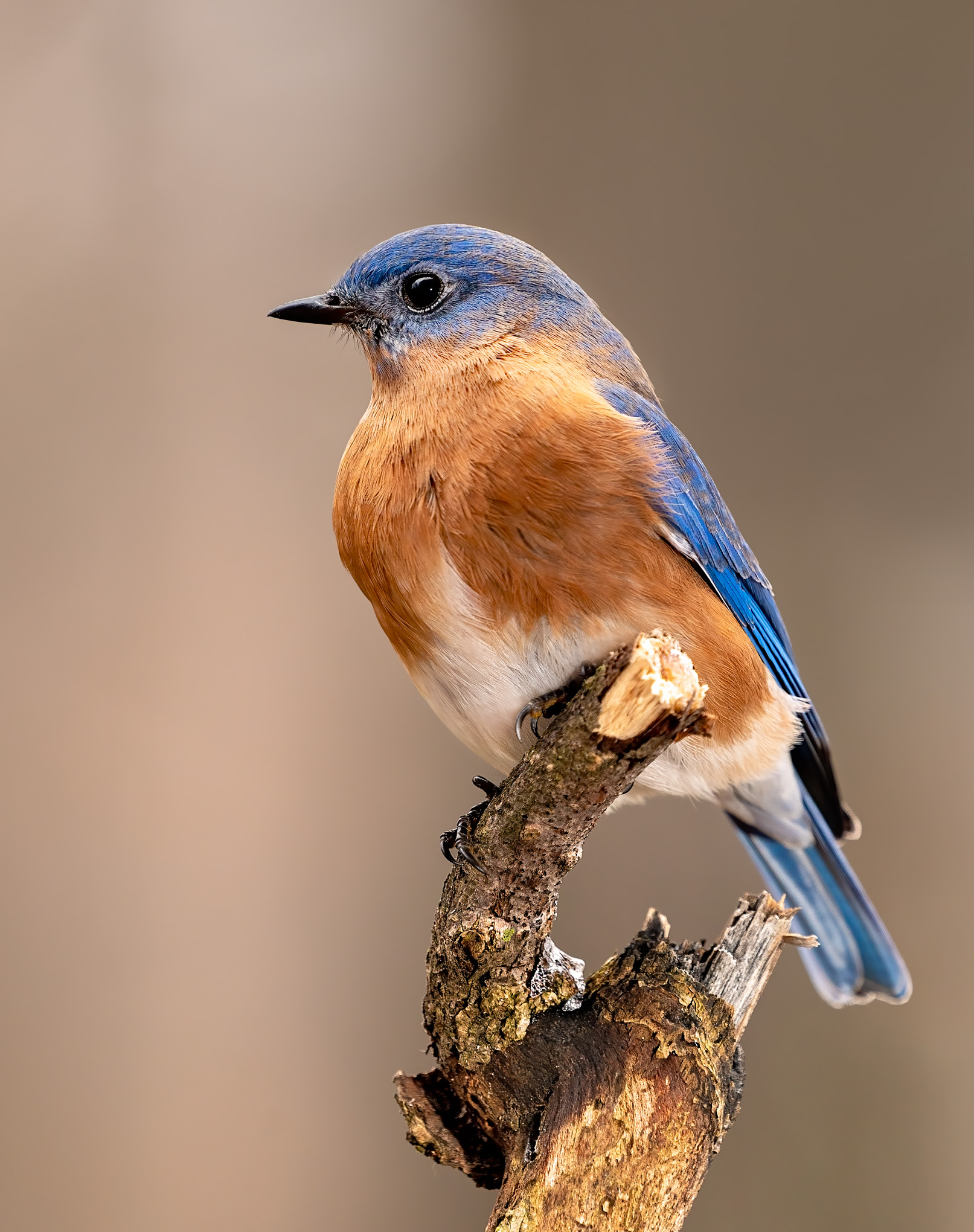 Eastern Bluebird 5