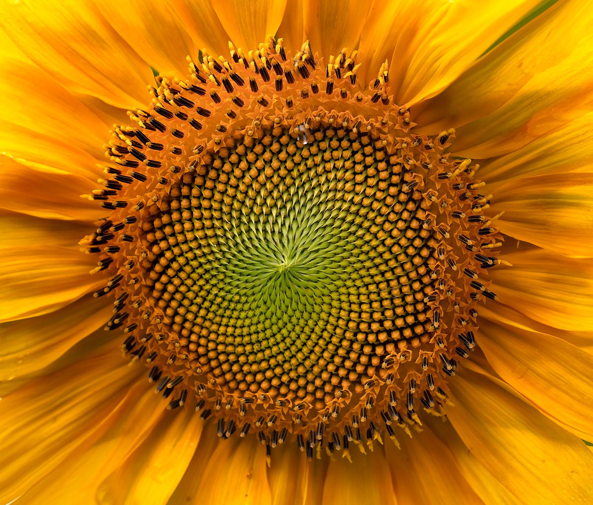 Fibonacci's sunflower