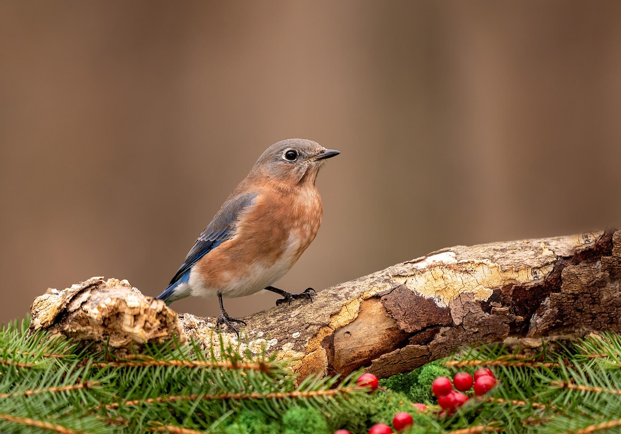 Eastern Bluebird, female 1