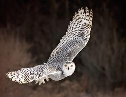 Snowy owl banking turn
