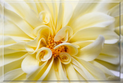 Yellow Dahlia framed