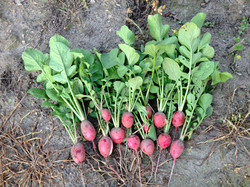 Garden Fresh Radishes
