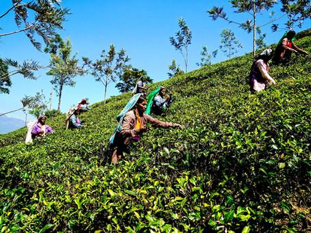 Tea in Sri Lanka - History and Experiences