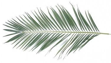 feuille-palmier-majestueux_modifié.jpg
