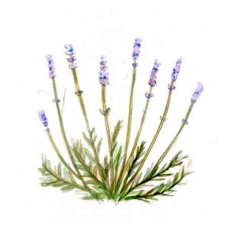 Lavender3