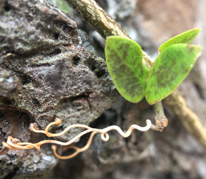 Tiny Vine Sprouting
