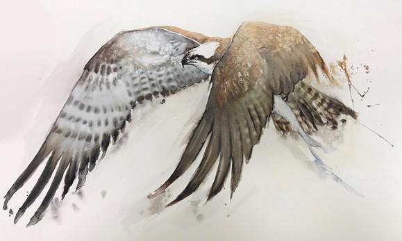 Osprey with Shad