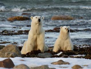 En búsqueda del oso polar