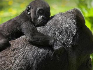 Gorilla Trekking, una convivencia inolvidable