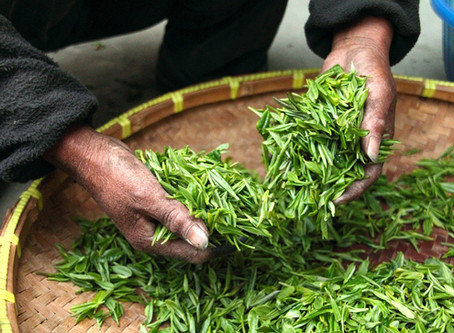 Myom krympte av D-vitamin och grönt te-extrakt