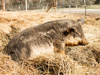 Mangalitsa, The Exclusive Pig