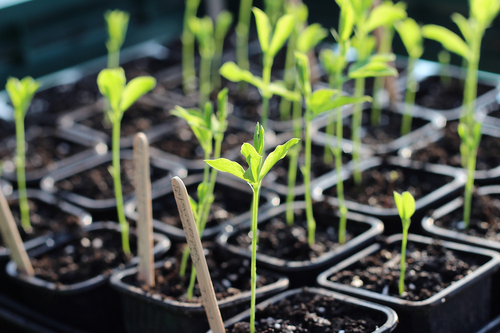 Sow sweetpea seeds now