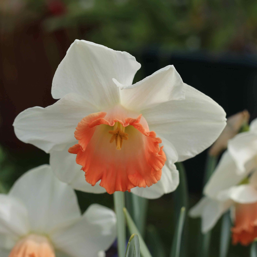 Narcissus 'Pink Smiles' flower head