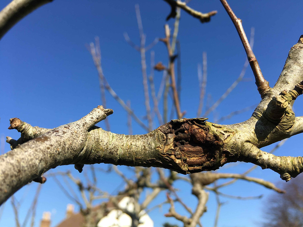 Prune out diseased branches