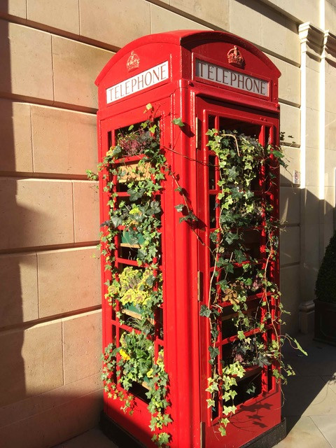 Ivy cascading from Bath telephnone box
