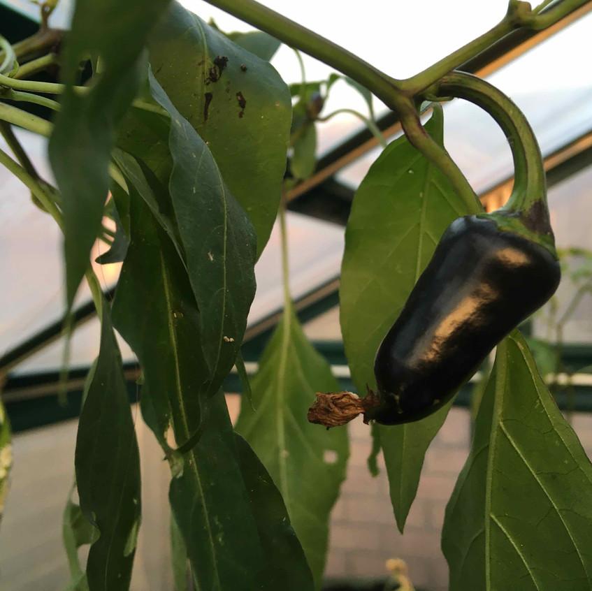 Purple serrano chilli