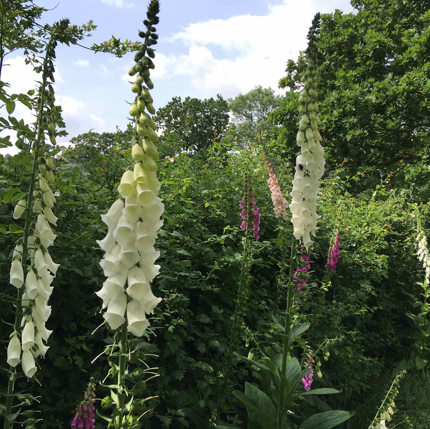 Digitalis in dappled woodland