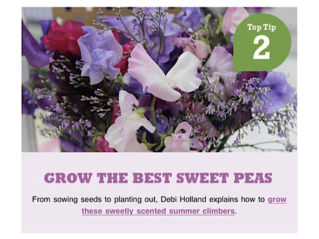 Grow the best sweet peas