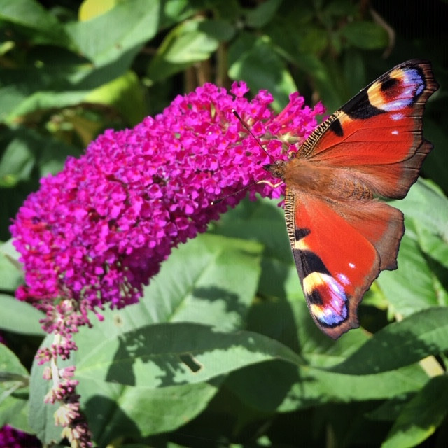 Peacock butterfly on buddleja 'Buzz Magenta'