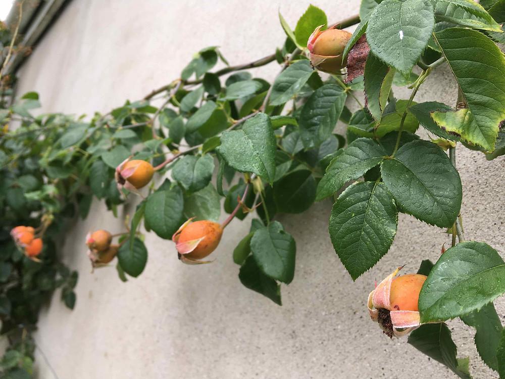 Rose hips of 'The Generous Gardener'