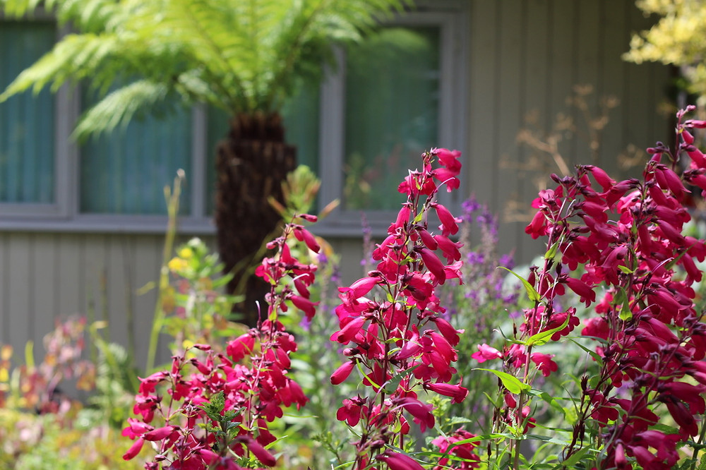 Penstemon and tree fern