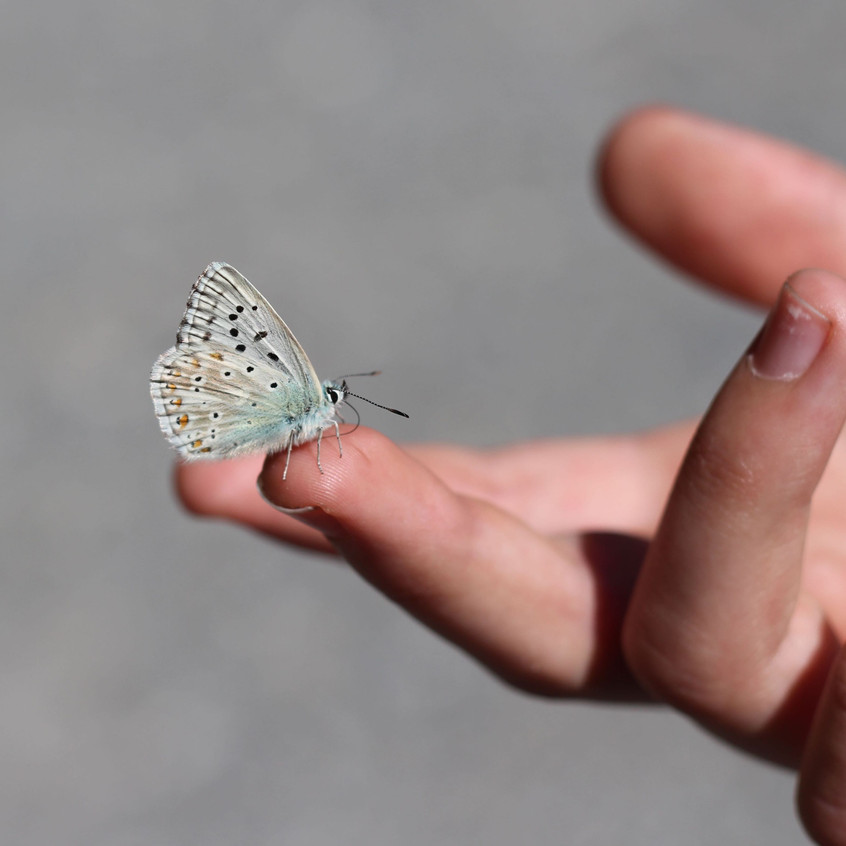 Polyommatus amandus Butterfly