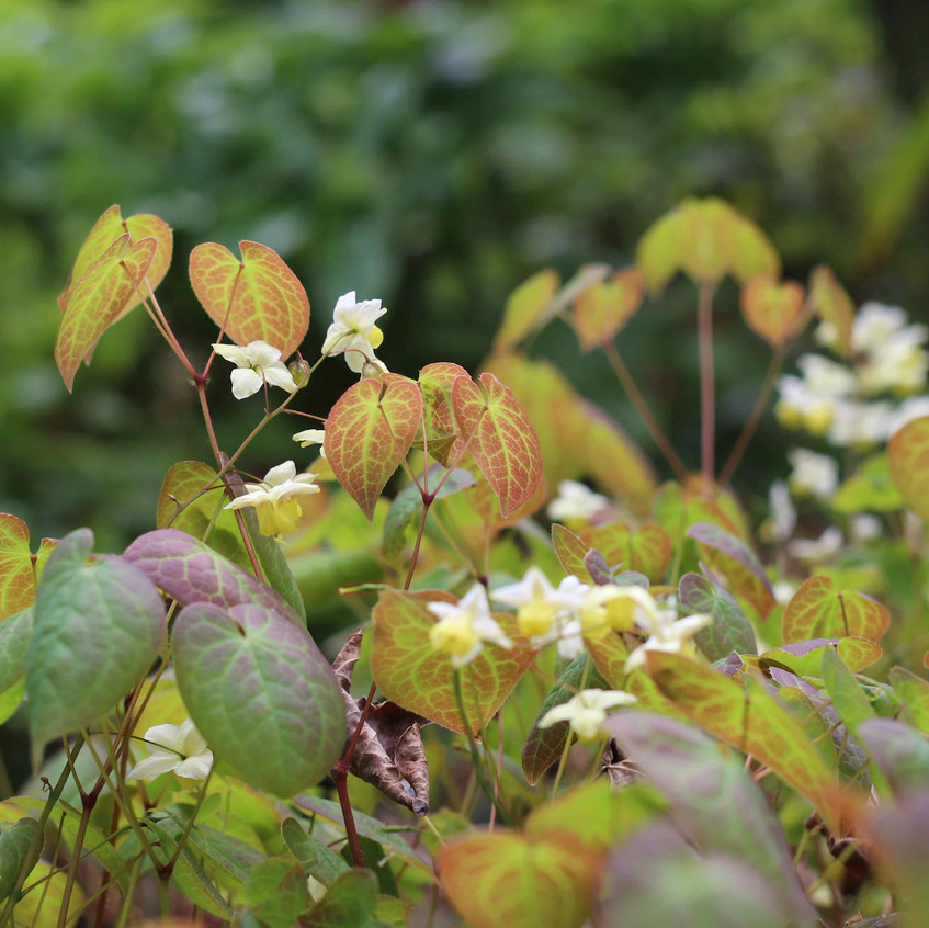 Exquisite Epimedium foliage