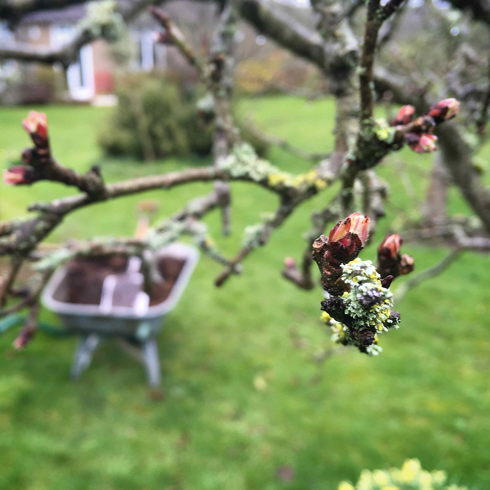 Dormancy broke. Orchard buds