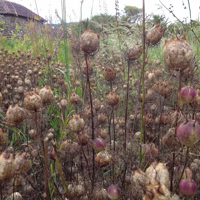 Nigella 'Love-in-a-mist' seedheads