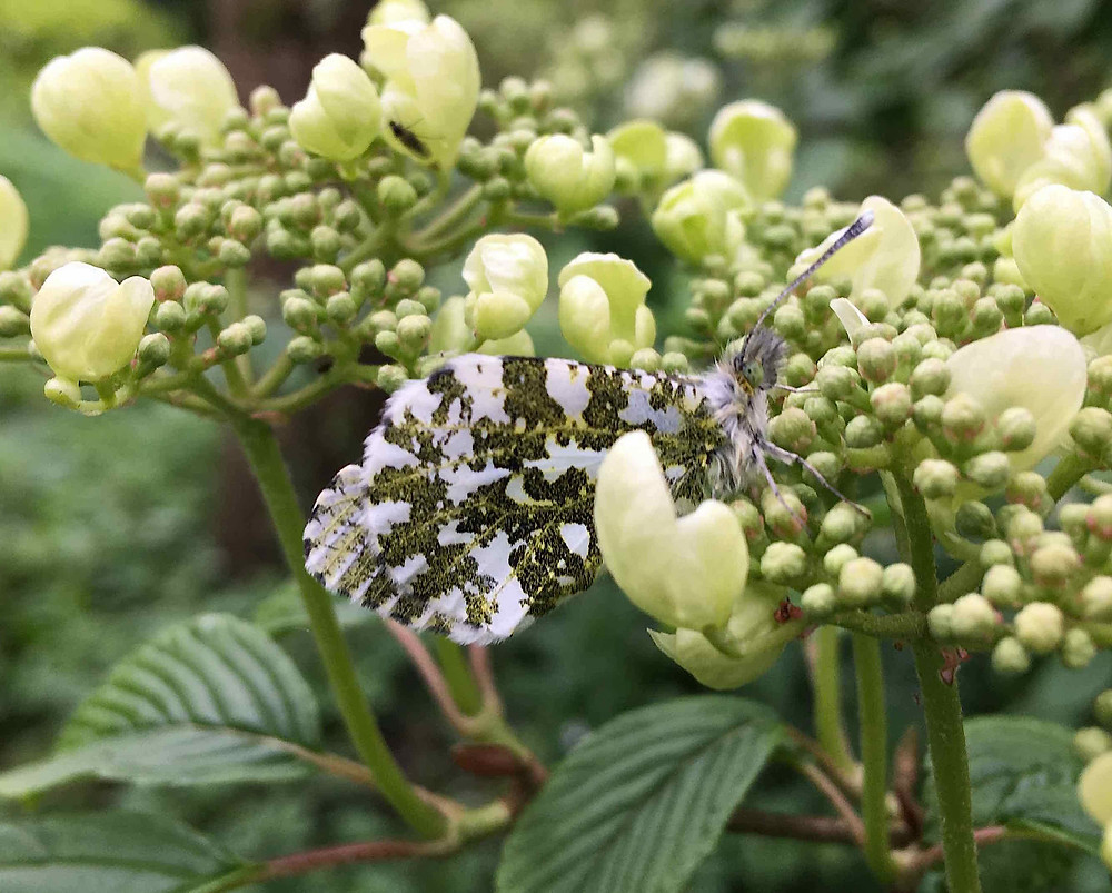 Orange tip butterfly on Viburnum plicatum