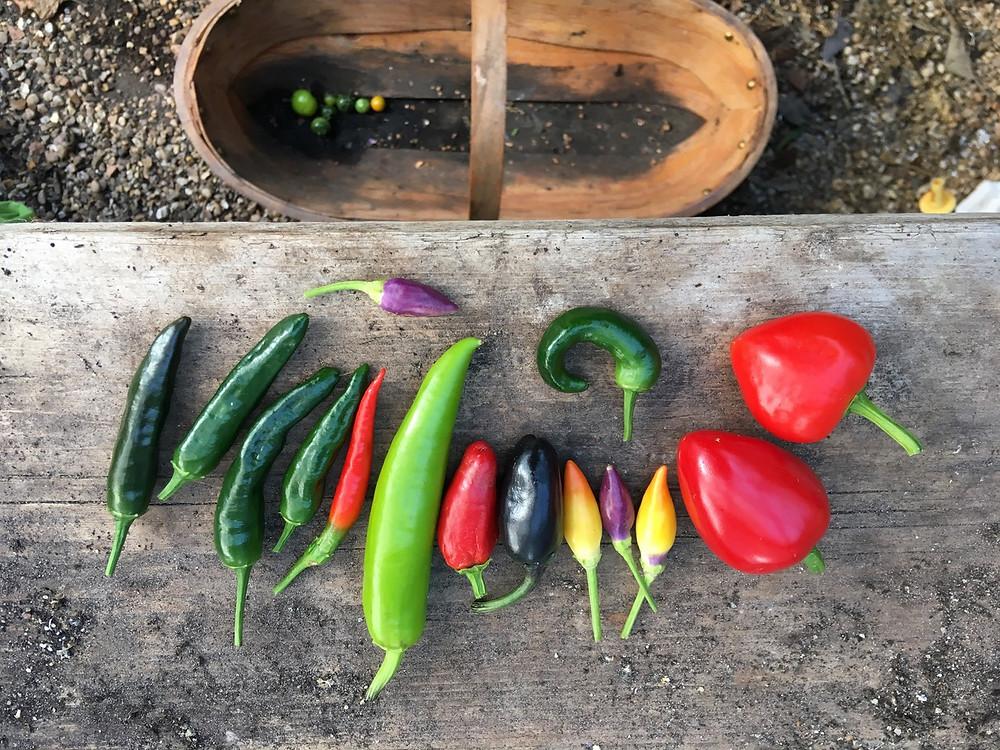 Rainbow coloured chilli harvest