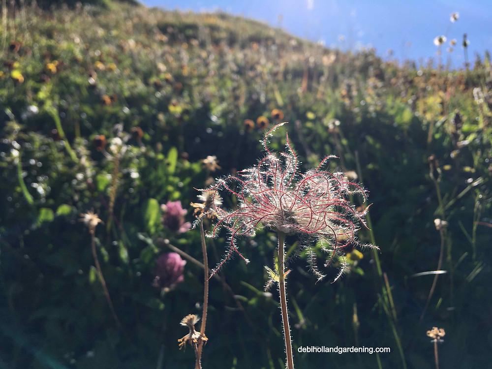 Pulsatilla alpina, Alpine Pasqueflower