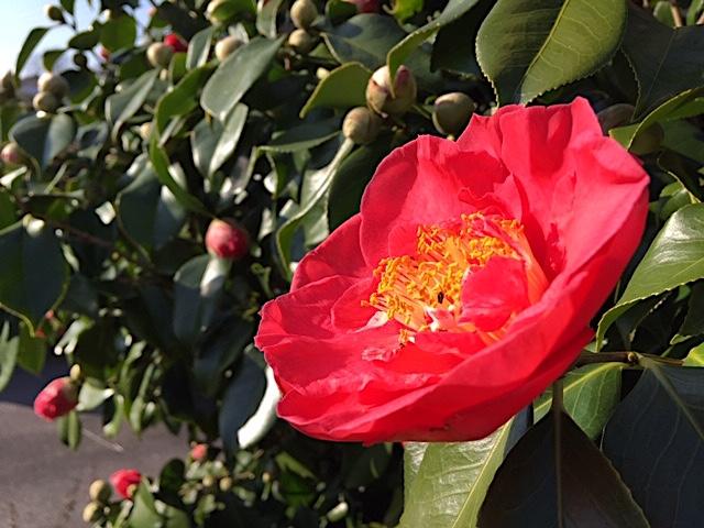 Scarlet camellia