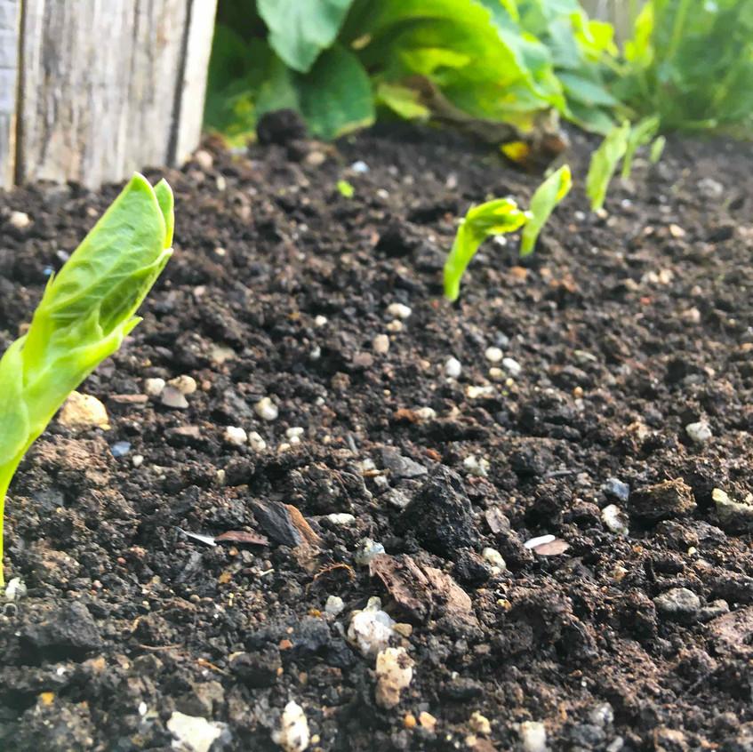 Broadbeans emerging