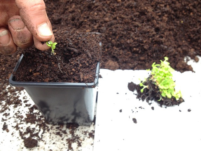 Potting on seedlings