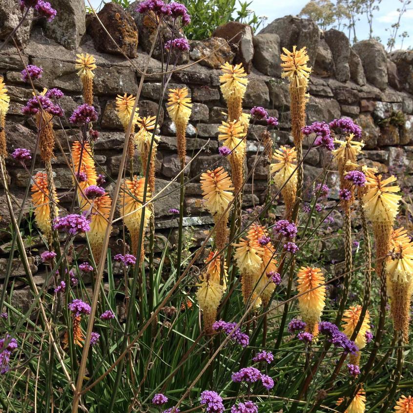 Kniphofia & Verbena bonareinsis