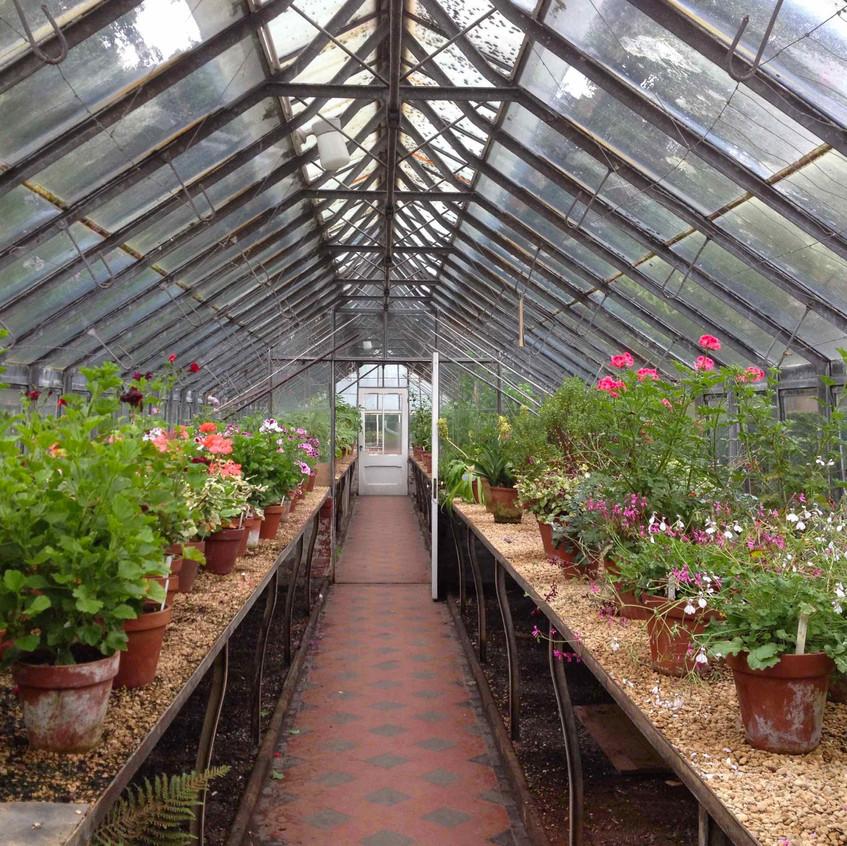 Over-wintering Pelargoniums
