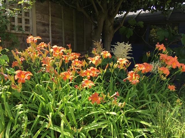 Day lillies & astilbes