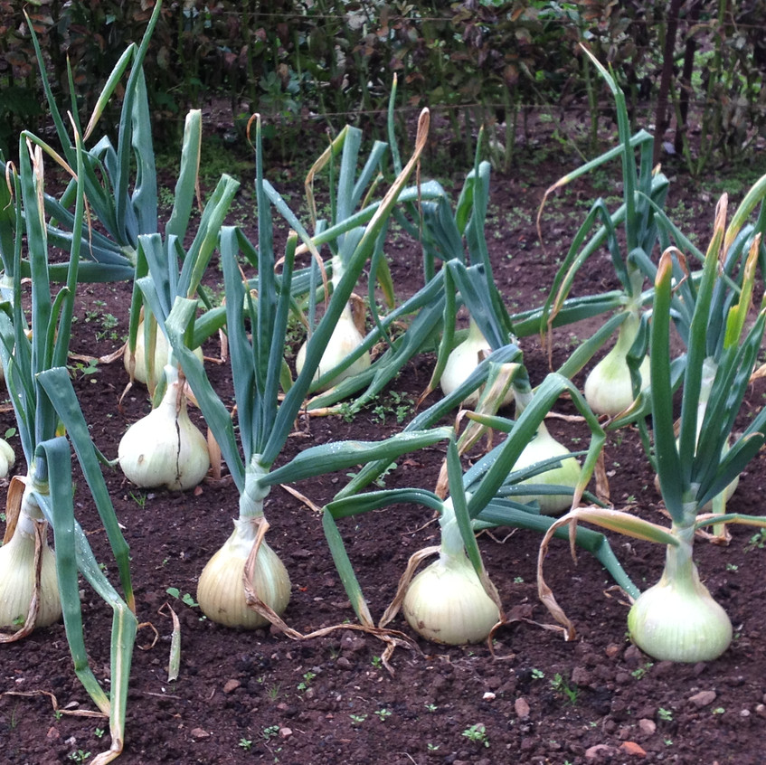 Prized onions