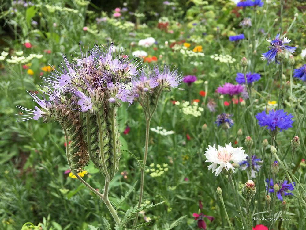 Phacelia tanacetifolia and cornflowers