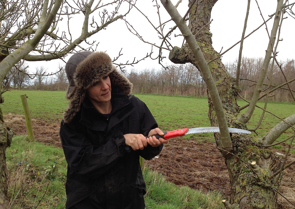 Prune apple trees from now till February