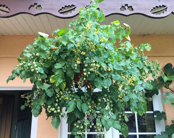Fabulous tomato hanging basket 'Hundreds & Thousands'