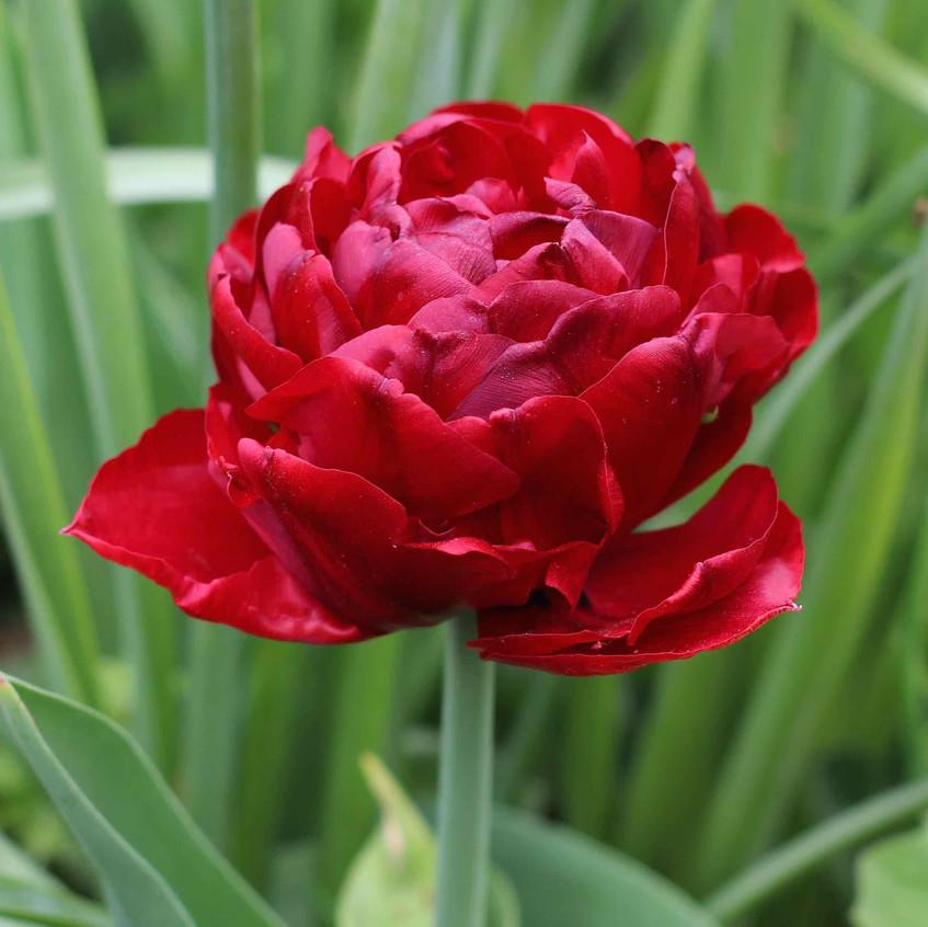 Tulipa 'Baby Doll'