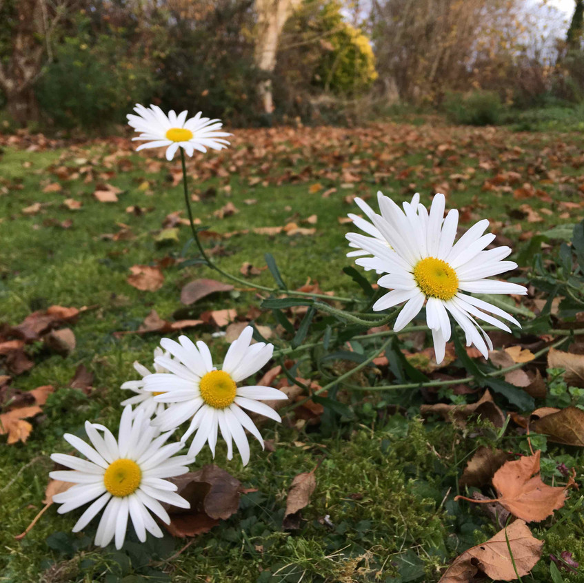 Daisies spring up in unusual spots