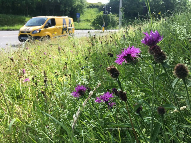 Knapweed on the roadside