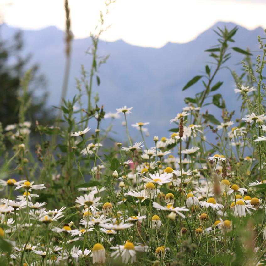 Chamomile wild meadow