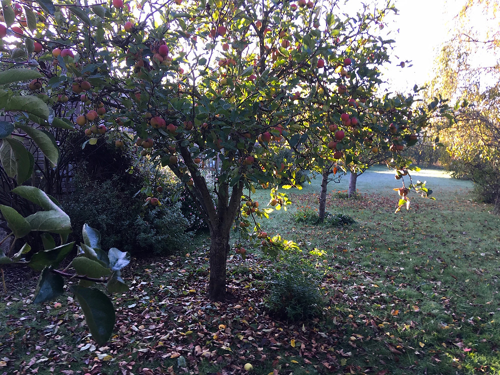 November orchard. Prune apple and pear trees from November to February once dormant