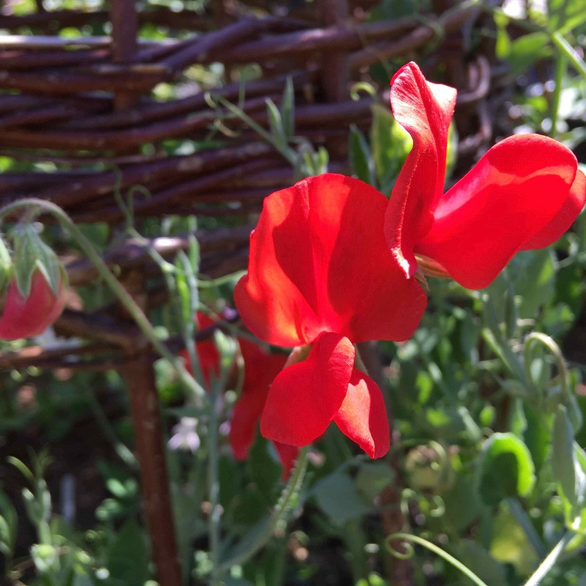 Sweet pea Scarlet Tunic blooms